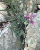 Streptanthus gracilis