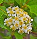 Prunus virginiana var. melanocarpa