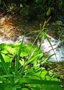 Carex amplifolia