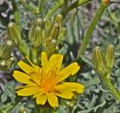 Crepis occidentalis ssp. costata