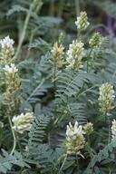 Astragalus cicer