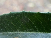 Pyracantha fortuneana
