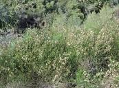 Chloracantha spinosa