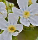 Hackelia patens