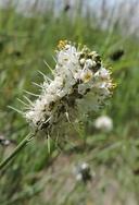 Dalea candida var. oligophylla