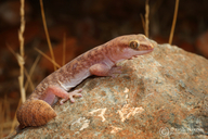 Variable Fat-tailed Gecko