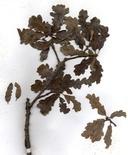 Quercus Xjolonensis