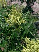 Rhus copallinum var. latifolia