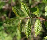 Toxicodendron vernix