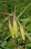 Asclepias incarnata ssp. incarnata