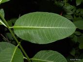 Asclepias purpurascens