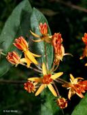 Asclepias tuberosa ssp. tuberosa