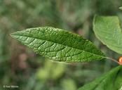 Ilex verticillata