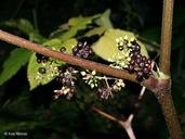 Aralia racemosa ssp. racemosa