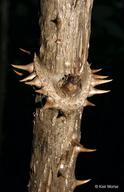 Aralia spinosa