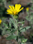 Hairy Golden-aster