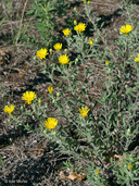Heterotheca villosa var. ballardii