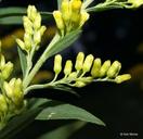 Solidago altissima ssp. altissima