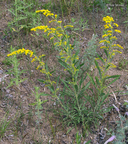 Old-field Goldenrod