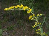 Solidago nemoralis ssp. decemflora