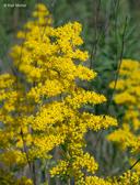 Solidago nemoralis ssp. nemoralis