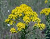 Solidago rigida ssp. humilis