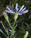 Symphyotrichum laeve var. laeve
