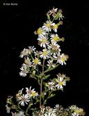 Symphyotrichum lanceolatum var. hirsuticaule