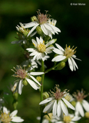 White Arrow-leaved Aster