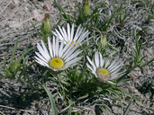 Large-flowered Townsend-daisy