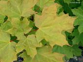 Acer saccharum var. saccharum