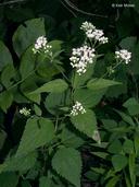 Ageratina altissima var. altissima