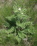 Cirsium pumilum var. hillii