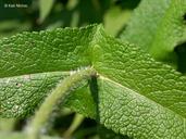 Eupatorium perfoliatum var. perfoliatum