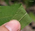Helianthus divaricatus