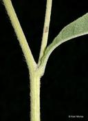 Helianthus maximiliani