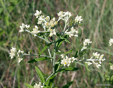 Old-field Cudweed