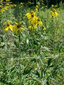 Rudbeckia laciniata var. laciniata
