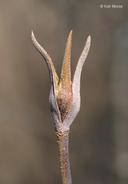 Viburnum lentago