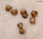 Alnus incana ssp. rugosa
