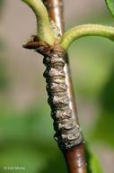 Betula alleghaniensis var. alleghaniensis