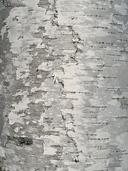 Betula papyrifera var. papyrifera