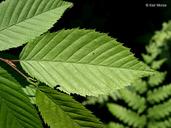 Carpinus caroliniana ssp. virginiana
