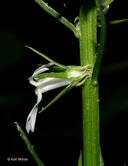 Lobelia spicata var. leptostachys