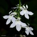 Lobelia spicata var. spicata