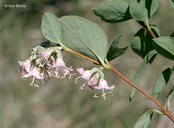 Symphoricarpos occidentalis
