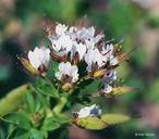 Polanisia dodecandra ssp. trachysperma