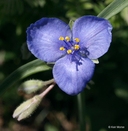 Tradescantia occidentalis var. occidentalis