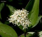 Cornus racemosa