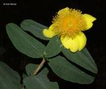 Hypericum frondosum